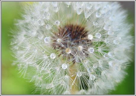 2009-074-dandeliondew-1