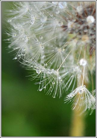 2009-074-dandeliondew-2